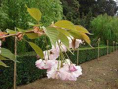 cerejeira  branca - prunus serrulata
