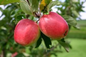 maçãs na macieira