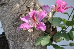 Pata de Vaca (Bauhinia variegata)