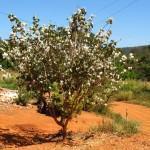 Pata-de-vaca (Bauhinia forficata)