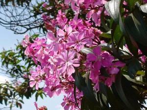 Quaresmeira (Tibouchina granulosa)
