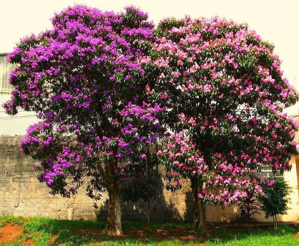 arvore manaca jardim:É uma árvore que ocorre espontânea nos seus lugares de origem, em