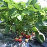 Cultivo do morango