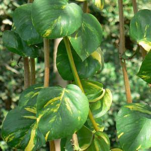 Jibóia (Epipremnum pinnatum)