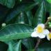 Chá da Índia (Camellia sinensis)