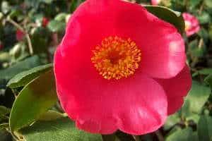 camellia sinensis flor vermelha