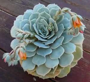 echeveria flores