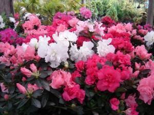 Azaléias (Rhododendron azaleia)