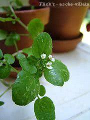 Agrião (Nasturtium officinale) flor