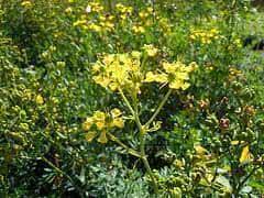 Arruda (Ruta graveolens)