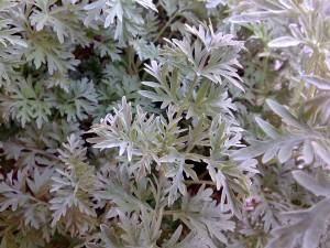 Losna (Artemisia absinthium)