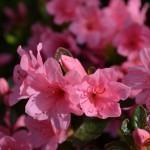 Azaléia (Rhododendron simsii)