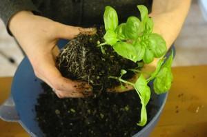 Hidroponia ou cultivo em solo - basil