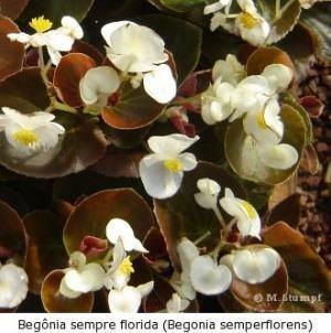 Begônia sempre-florida begonia semperflorens