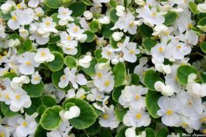 Begônia sempre-florida (Begonia semperflorens)