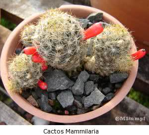 cactos mammilaria