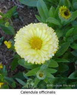 calendula Malmequer (Calendula officinalis)