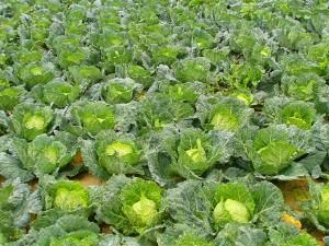 Repolho (Brassica oleracea) cultivo