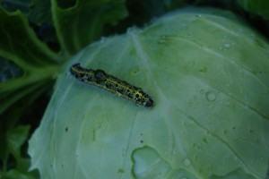 Repolho (Brassica oleracea) lagartas