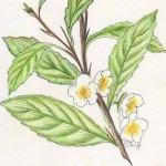 Chá da India (Camellia sinensis)