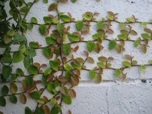 Unha-de-gato (Ficus pumila)