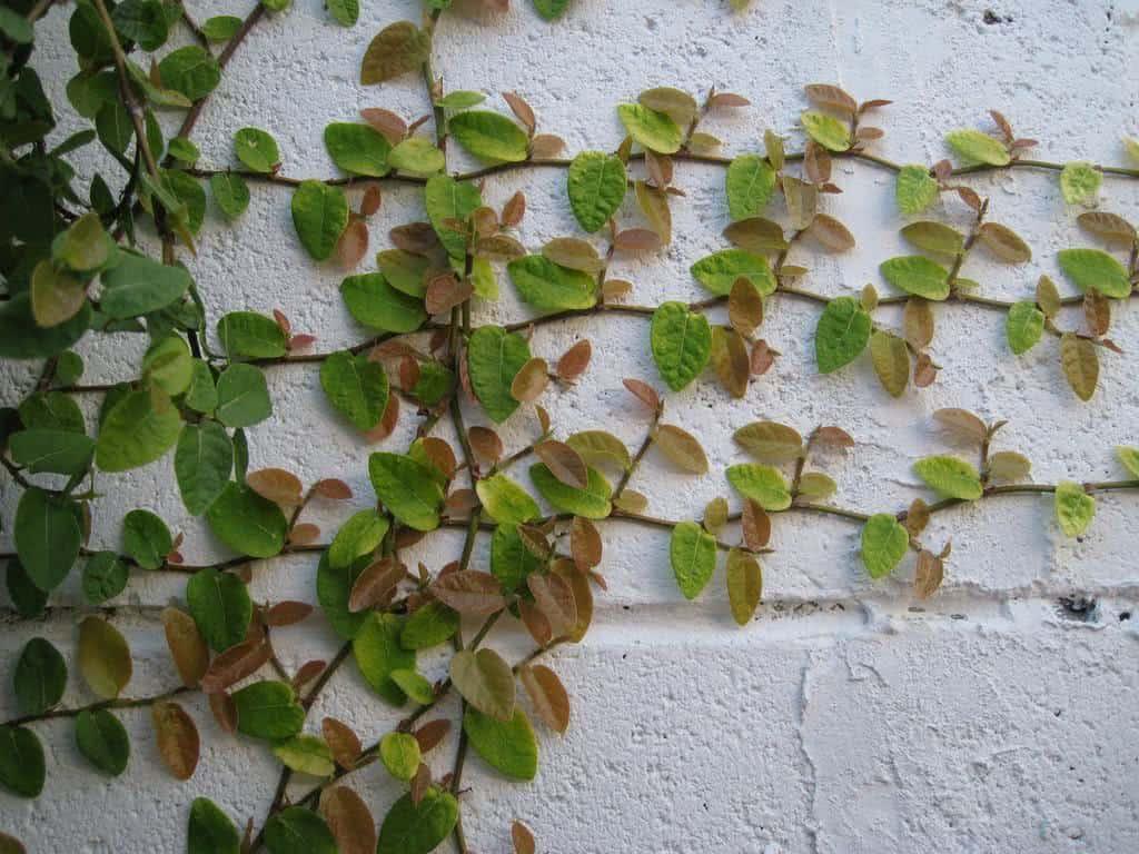 Unha de gato ficus pumila fazf cil for Plantas trepadoras para muros