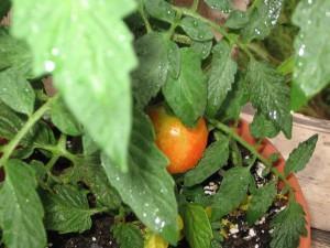 Tomate (Lycopersicum suculentum)