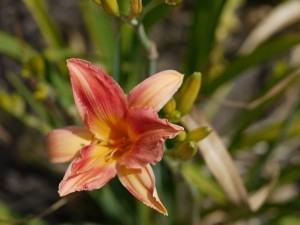 Hemerocale (Hemerocallis fulva)