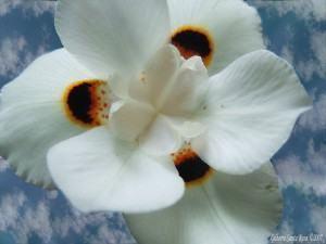 Moréia (Dietes bicolor) - flor