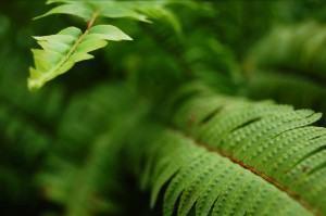 Samambaias em vasos, como plantar para embelezar o ambiente
