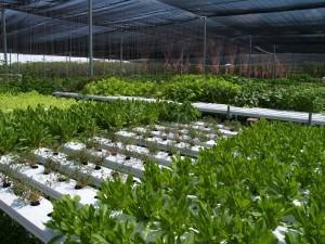 Horta Hidropônica para cultivo sem solo ou cultivo na água!