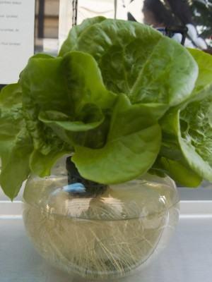 Como fazer cultivo hidropônico - Alface Hidropônico