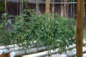 Como fazer cultivo hidropônico - Tomates Hidropônicos
