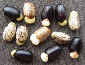 Plantio das sementes de Jatropha macrophylla