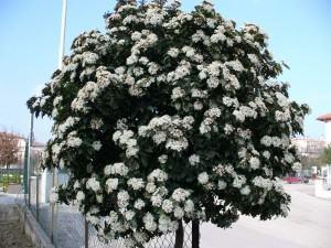 Viburno (Viburnum tinus)