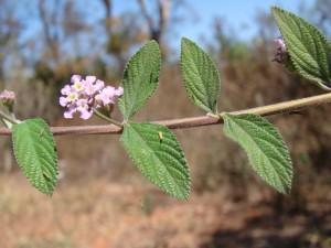 Erva cidreira brasileira (Lippia alba)
