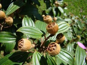 Manacá da Serra (Tibouchina mutabilis) frutos