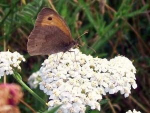 (Achillea millefolium)