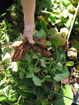Batata doce (Ipomoea batatas) - colheita