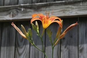 Orange Day Lily (Hemerocallis fulva)
