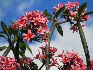Jasmim manga (Plumeria rubra)