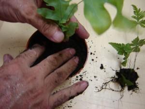 Samambaias em vasos - plantio da samambaia