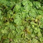 Salvinia (Salvinia auriculata)