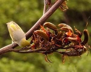 Fórmio (Phormium tenax) e um passarinho