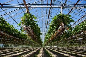 Como fazer cultivo hidropônico - Morangos Hidropônicos