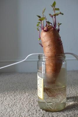 Batata doce (Ipomoea batatas) - reprodução