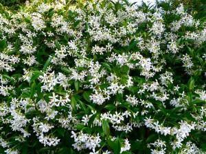 Jasmim Brilhante (Trachelospermum jasminoides)
