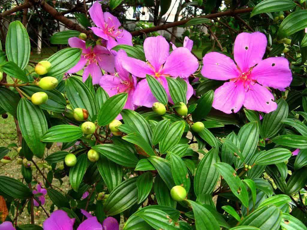 manaca de jardim em vaso : manaca de jardim em vaso: de admiração em todos os lugares onde é cultivada. Bela, ornamental