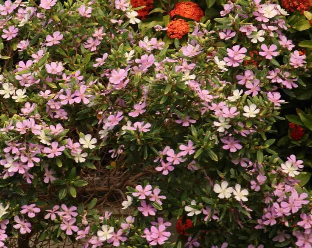 arvore manaca jardim:Para plantar, abrir um buraco maior que o torrão da muda.
