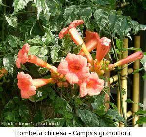 trombeta_chinesa